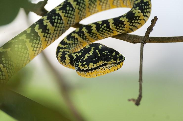 Penang Snake Temple Pit Viper
