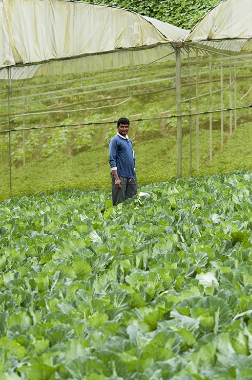 Cameron Highlands Man and his Cabbages