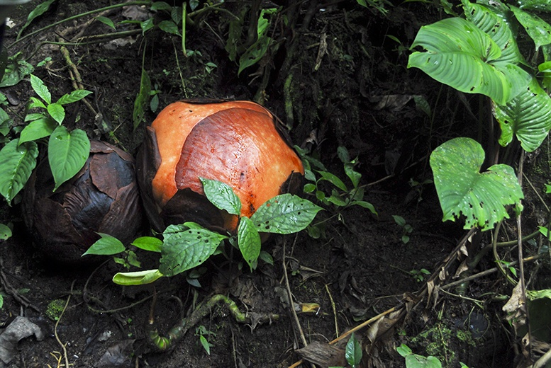 Cameron Highlands Rafflesia Cabbage