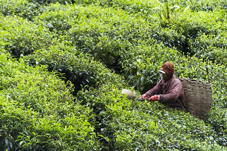 Cameron Highlands Smoking Tea Picker