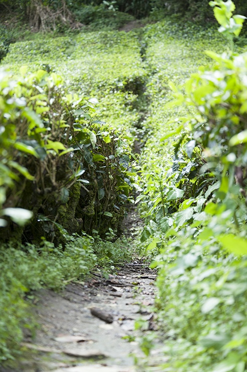Cameron Highlands Tea Trail