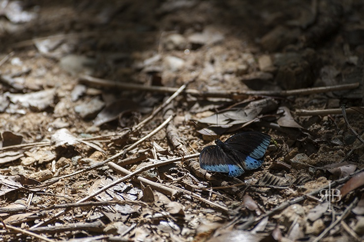 Kinabalu Butterfly on the Ground