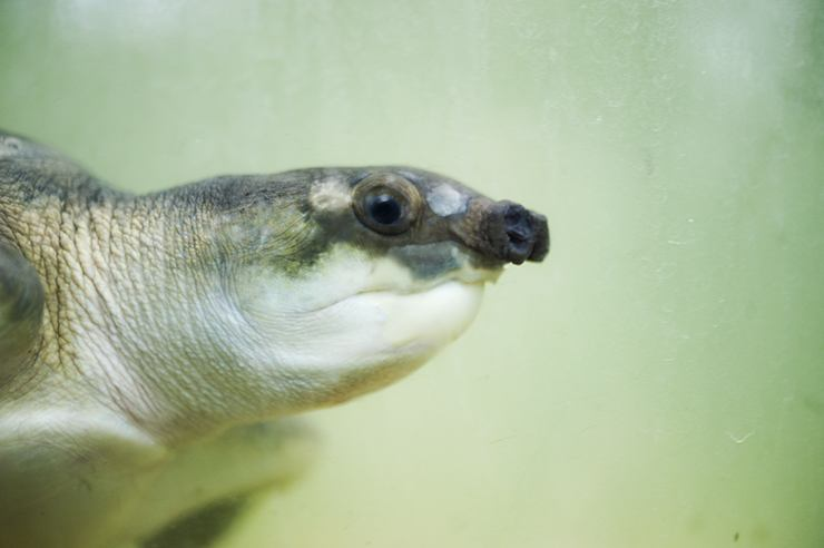 Penang Butterfly Water Turtle