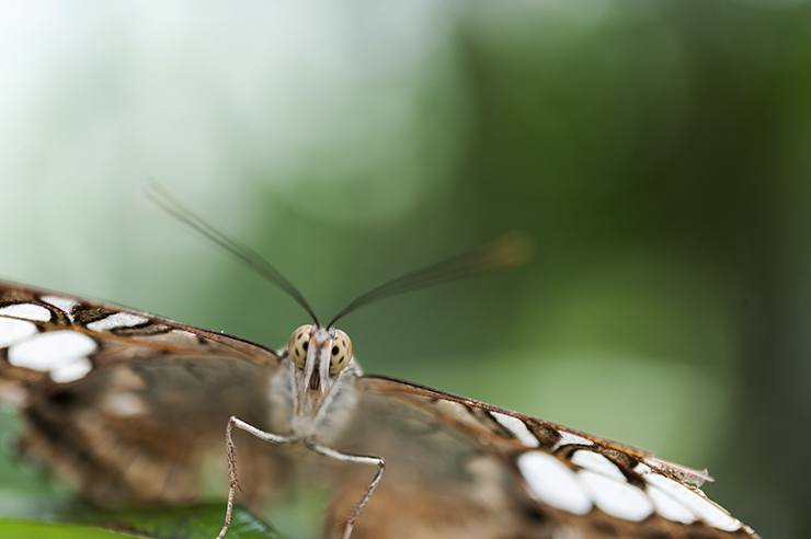 Penang Butterfly Spotty Eyes Front macro