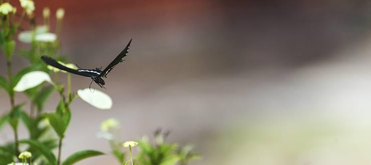 Penang Garden Butterfly in Flight