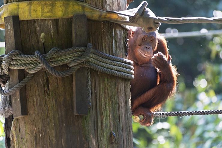 Sepilok Orangutan Pole