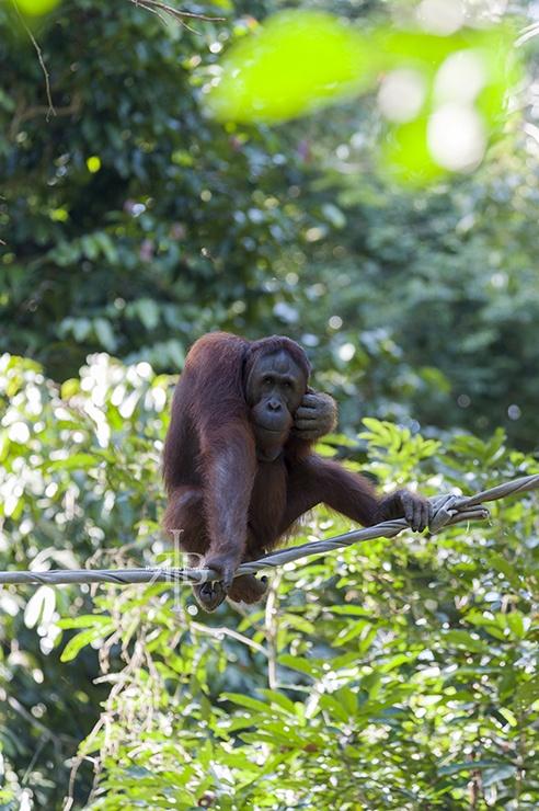 Sepilok Orangutan Stare
