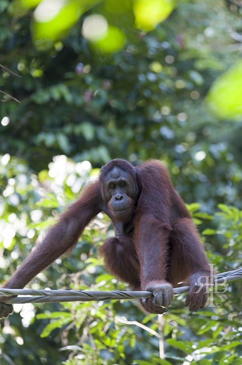 Sepilok Orangutan Tripod