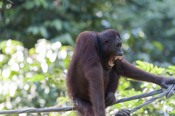 Sepilok Orangutan Yawn