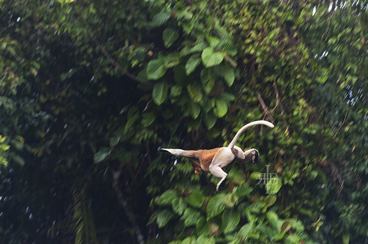Uncle Tan Proboscis Monkey Jumping