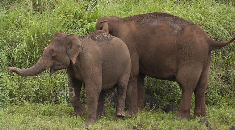 India Kumily NP wild elephants