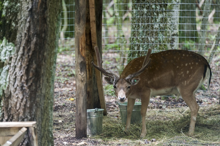 Foresta Umbra Deer