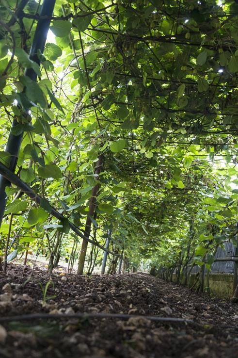 Kiwi Tunnel lemons gargano