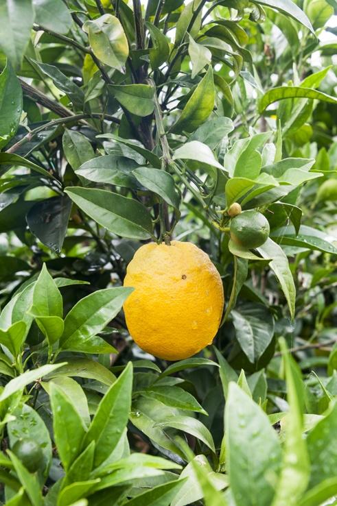 Puglia Lone lemons gargano
