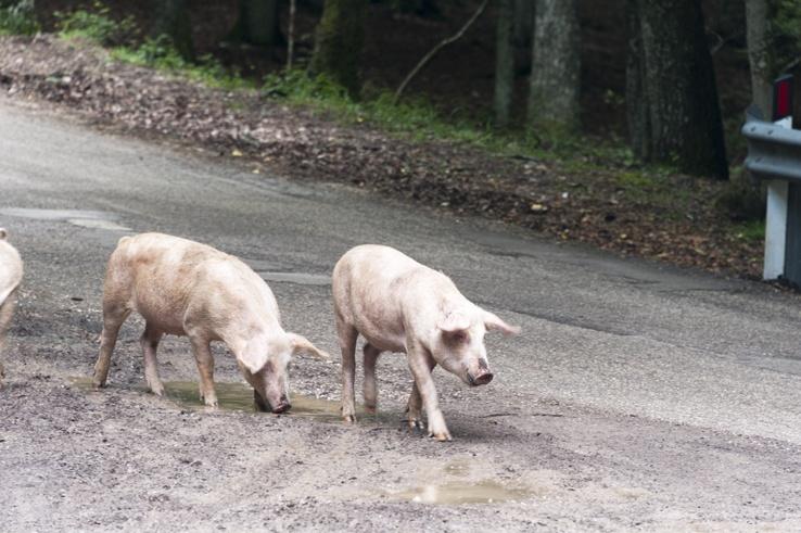 Foresta Umbra Pigs