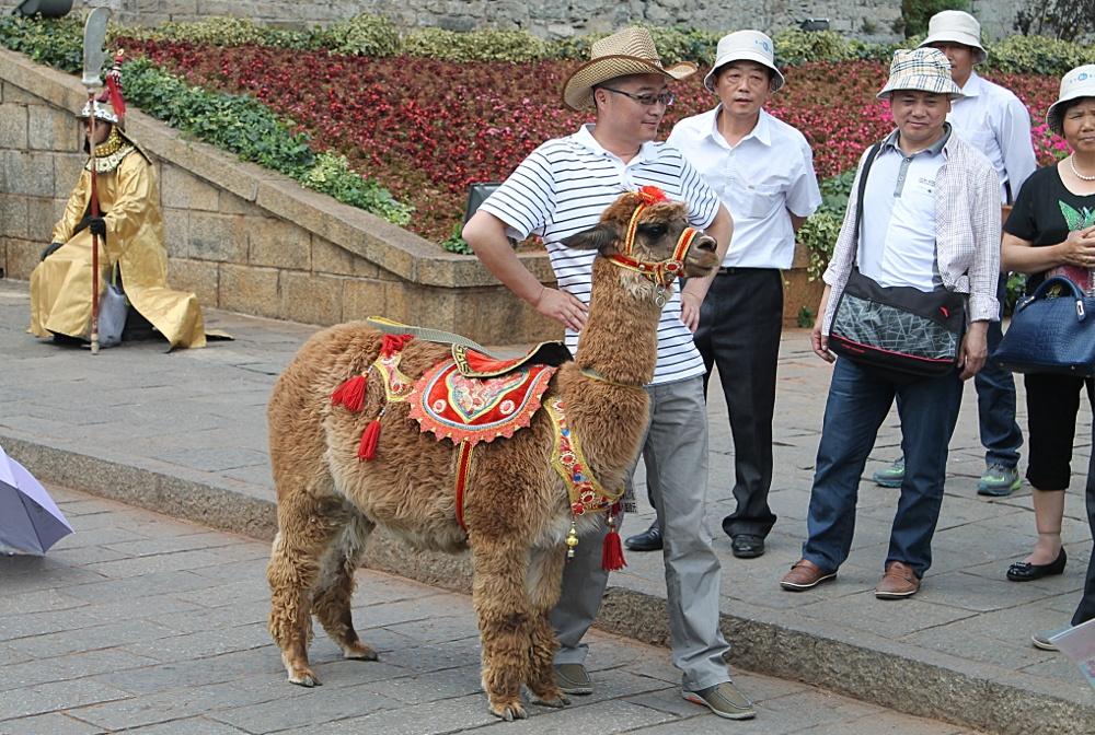 5 Reasons to Visit Yunnan llama dali