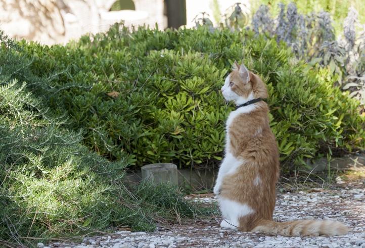 ginger cat meerkat