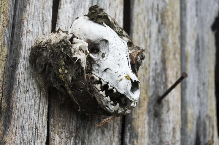Maakalla island Seal Skull