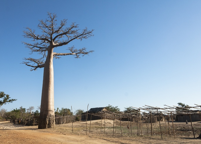 Avenue of Baobabs Madagascar Tree