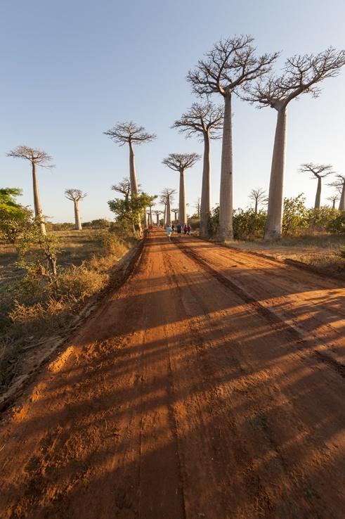 Madagascar Baobabs Avenue Long Road