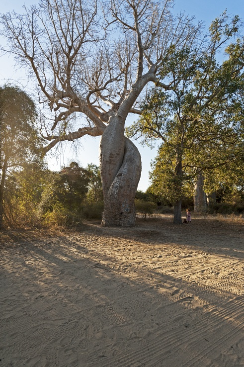 Avenue of baobabs in love
