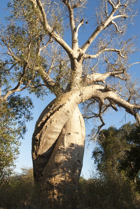 baobabs in love madagascar