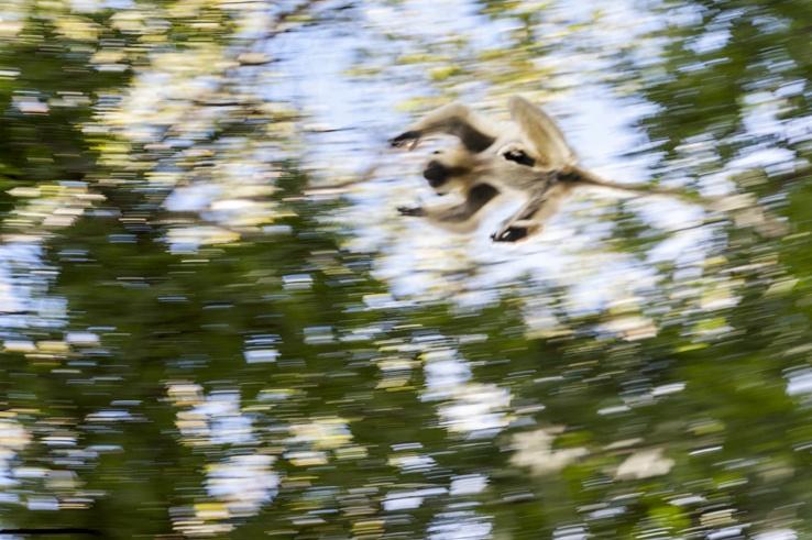 Tsingy de Bemaraha leaping lemur