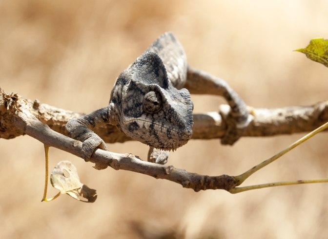 Andringitra National Park Chameleon
