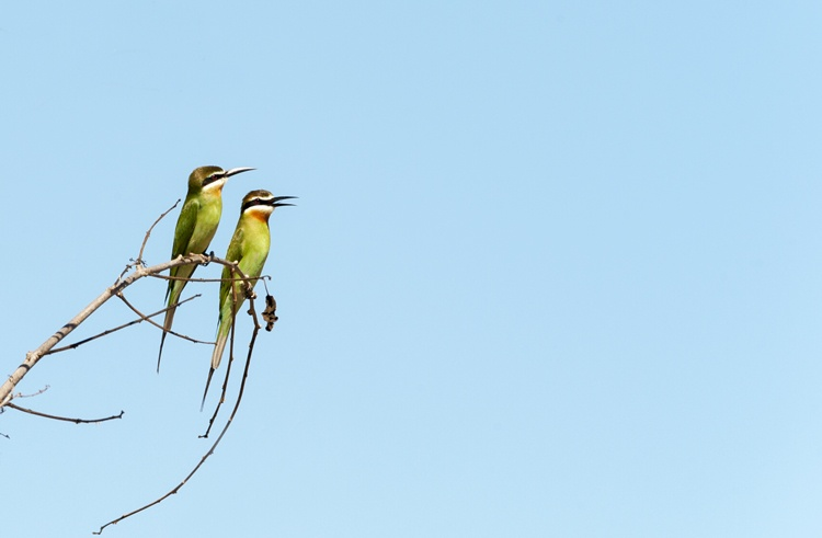 two green birds Madagascar Bee Eaters