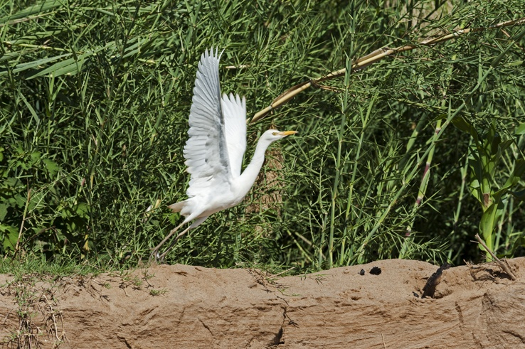 white heron take off