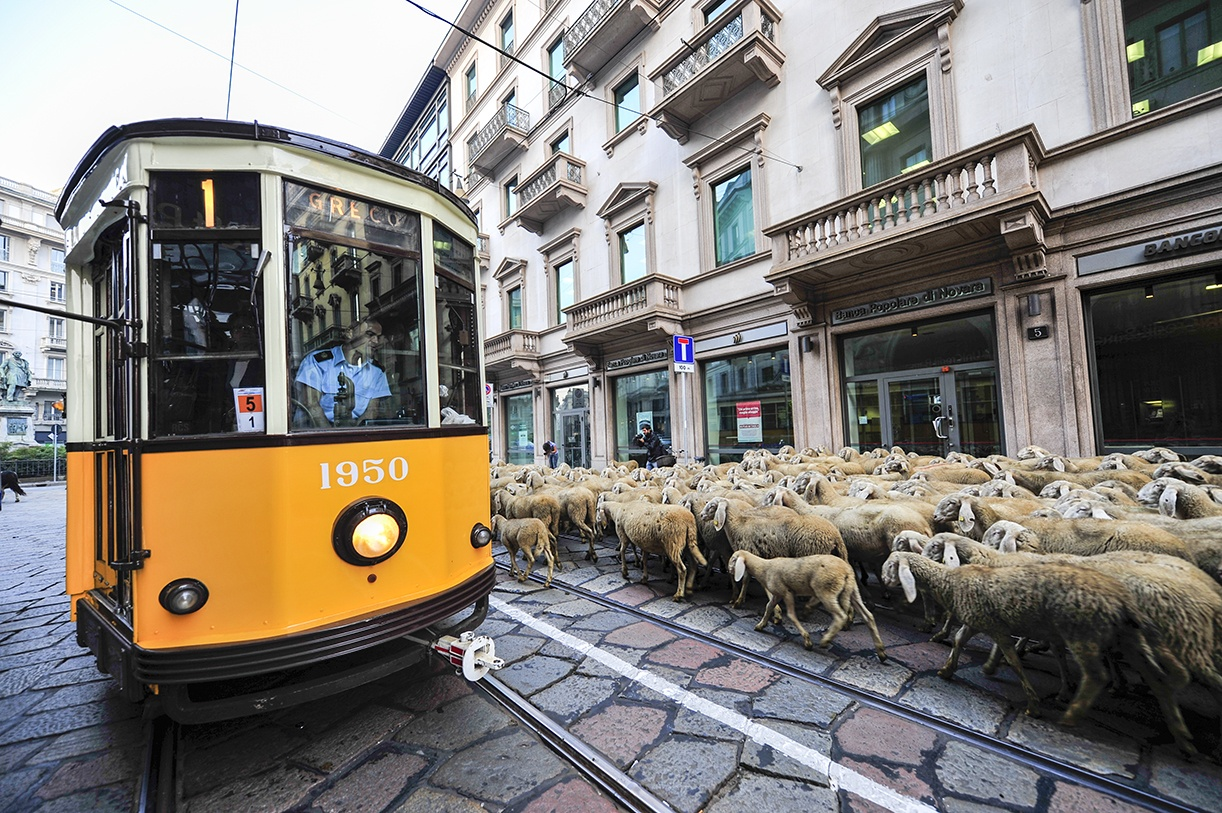 Tram milan sheep