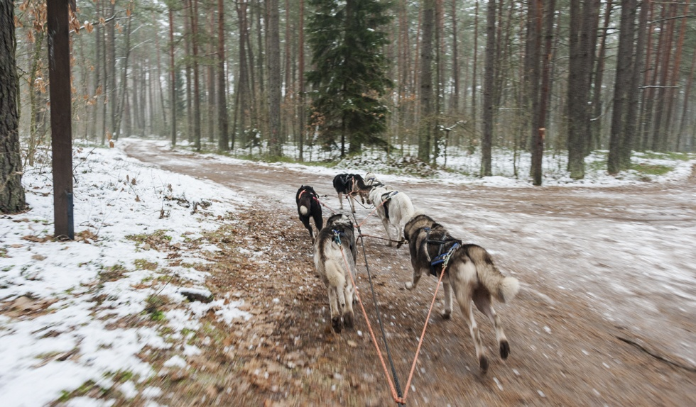 dog sledding in lithuania running
