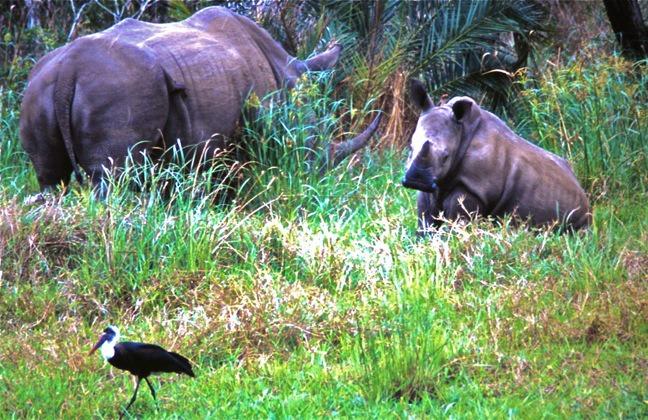 baby rhino grass