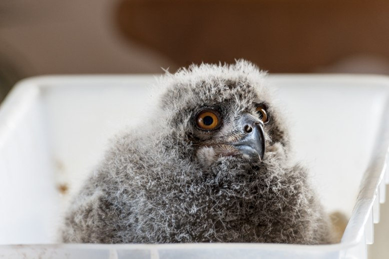 baby vulture pyrenees