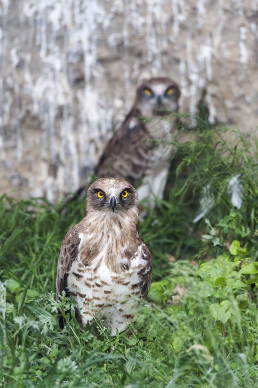 pair of birds of prey zoo pirineu