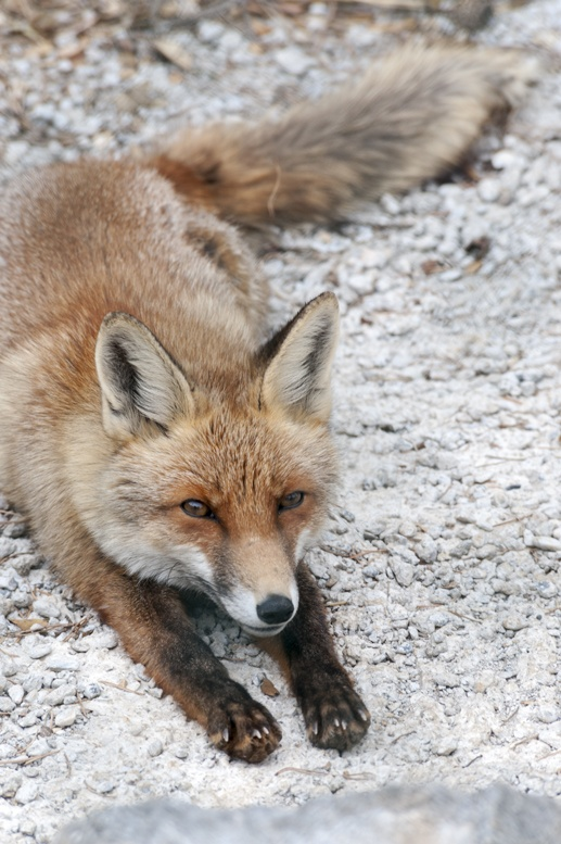 fox pyrenees zoo