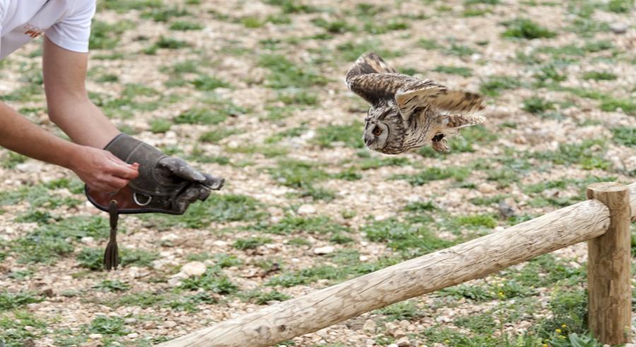 short eared owl pyrenees flying