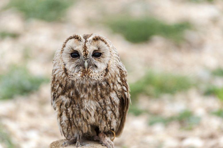 tawny owl zoo del pirineu