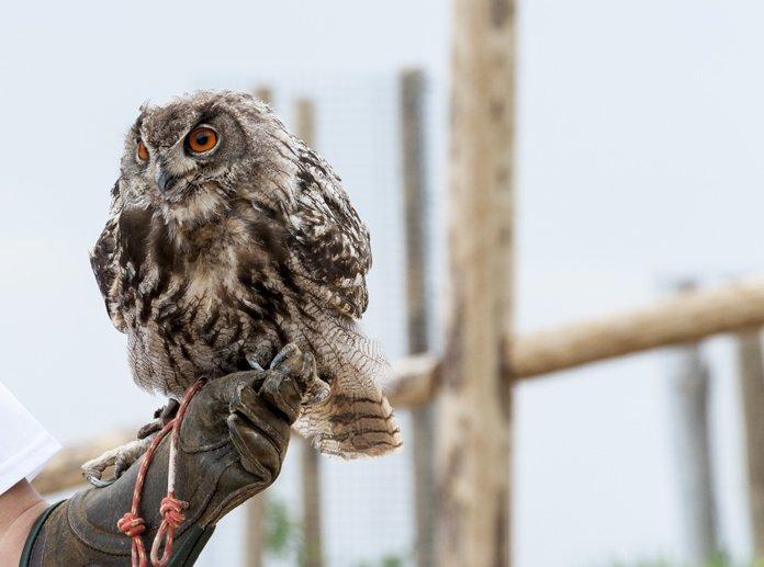 eagle owl catalunya spain