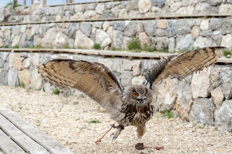 eagle owl flying catalunya spain