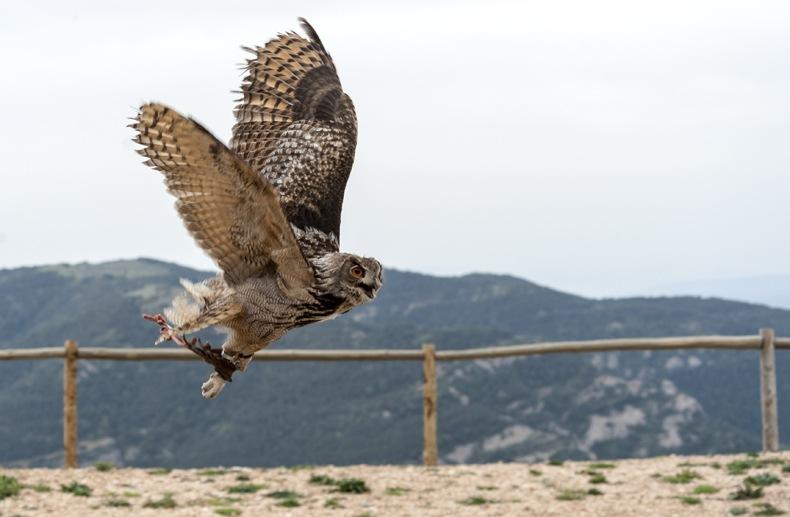 eagle owl flying zoo del pirineu