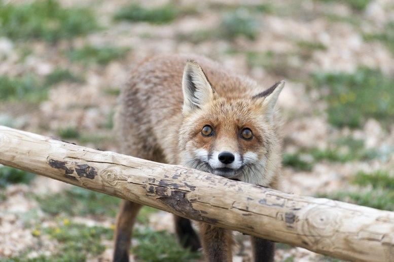 fox staring catalunya