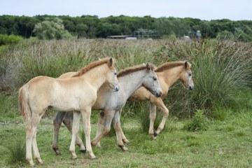 little camargue horses reeds