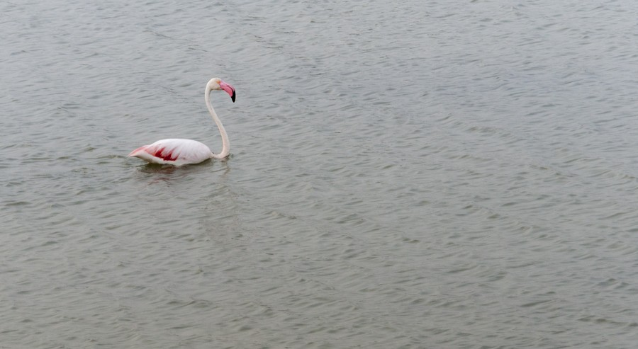 flamingo swimming lagoon