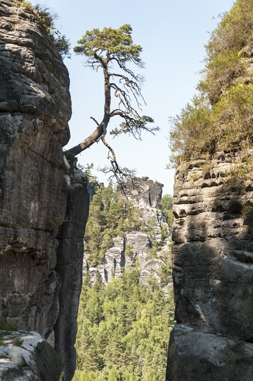 saxon switzerland tree