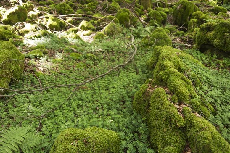 la verna forest moss