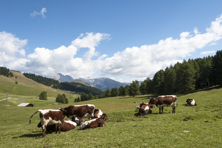 Alpe di siusi brown white cows