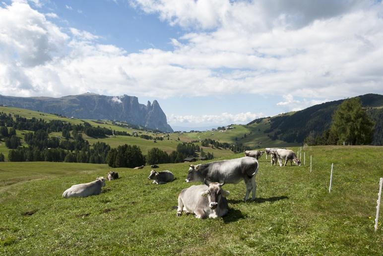 sciliar grey cows