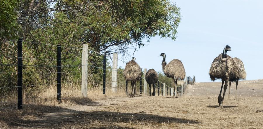 south australia emu