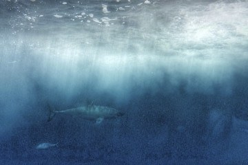 ethical shark diving great whites